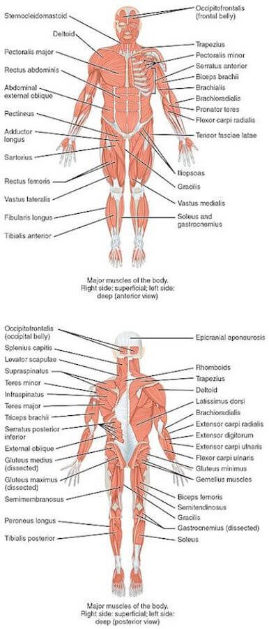 Pacific Medical Training - Human Muscular system