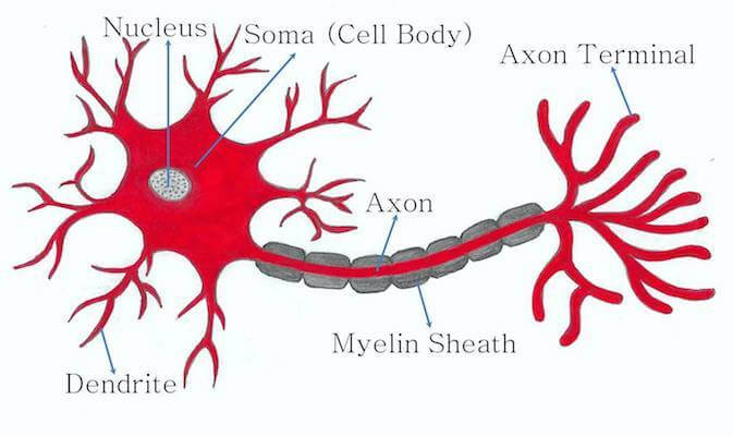 Figure 1 typical neuron structure