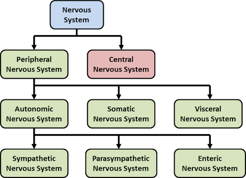 Figure 2 components of the nervous system