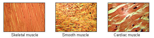 Figure 3 Types of Muscle Tissue