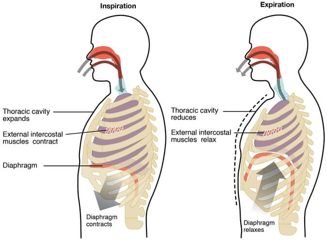 Pacific Medical Training Respiratory System Info For Scribes