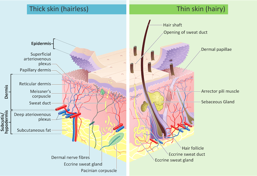 Pacific Medical Training Integumentary System