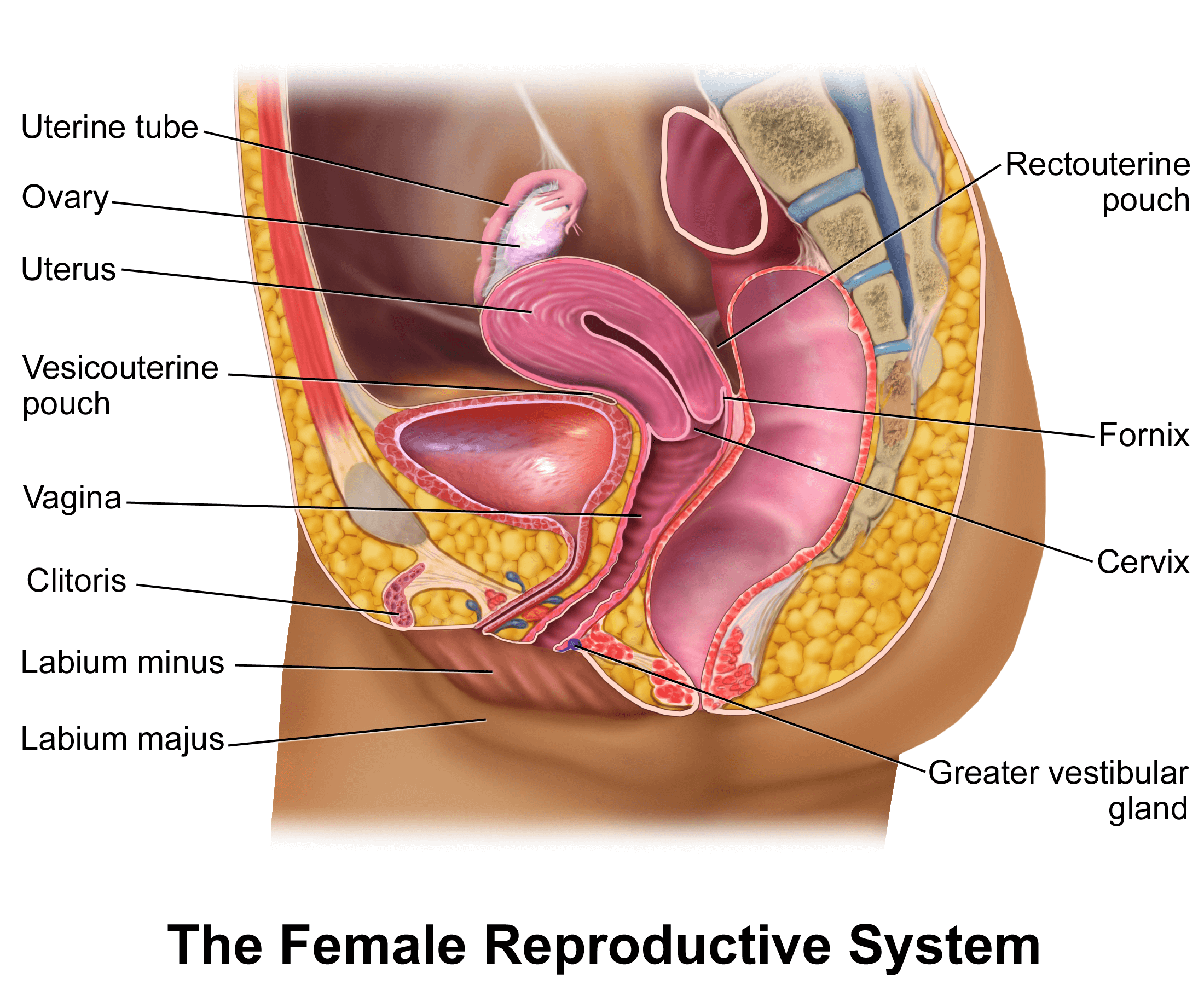 Pacific Medical Training Reproductive System